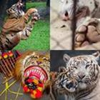 4 images 1 mot 5 lettres niveau tigre 2