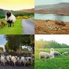 4 images 1 mot 6 lettres niveau mouton 1