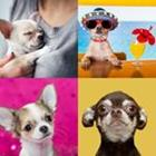 4 images 1 mot 9 lettres niveau chihuahua